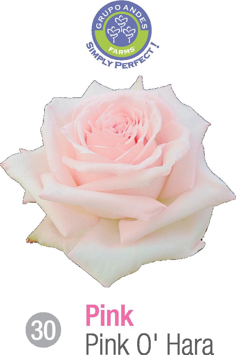 30 - Rosa Variedad Pink O'Hara.png