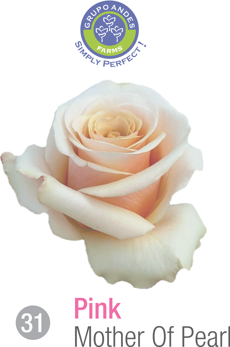 31 - Rosa Variedad Mother Of Pearl.png