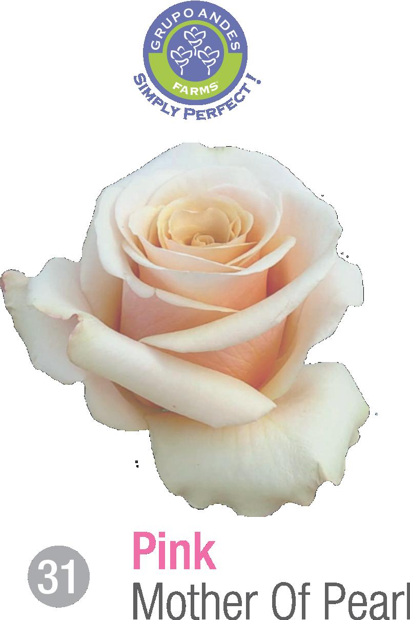 31 - Rosa Variedad Mother Of Pearl.png