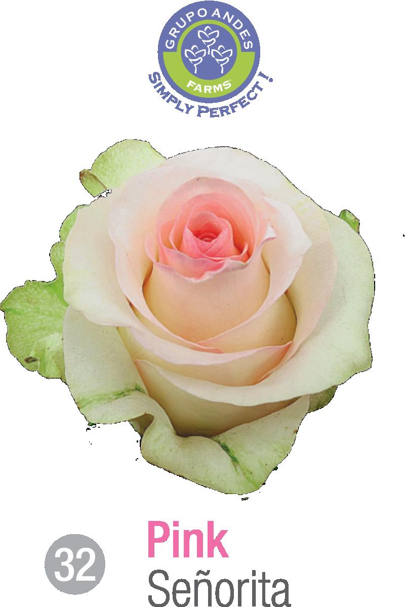 32 - Rosa Variedad Señorita.png