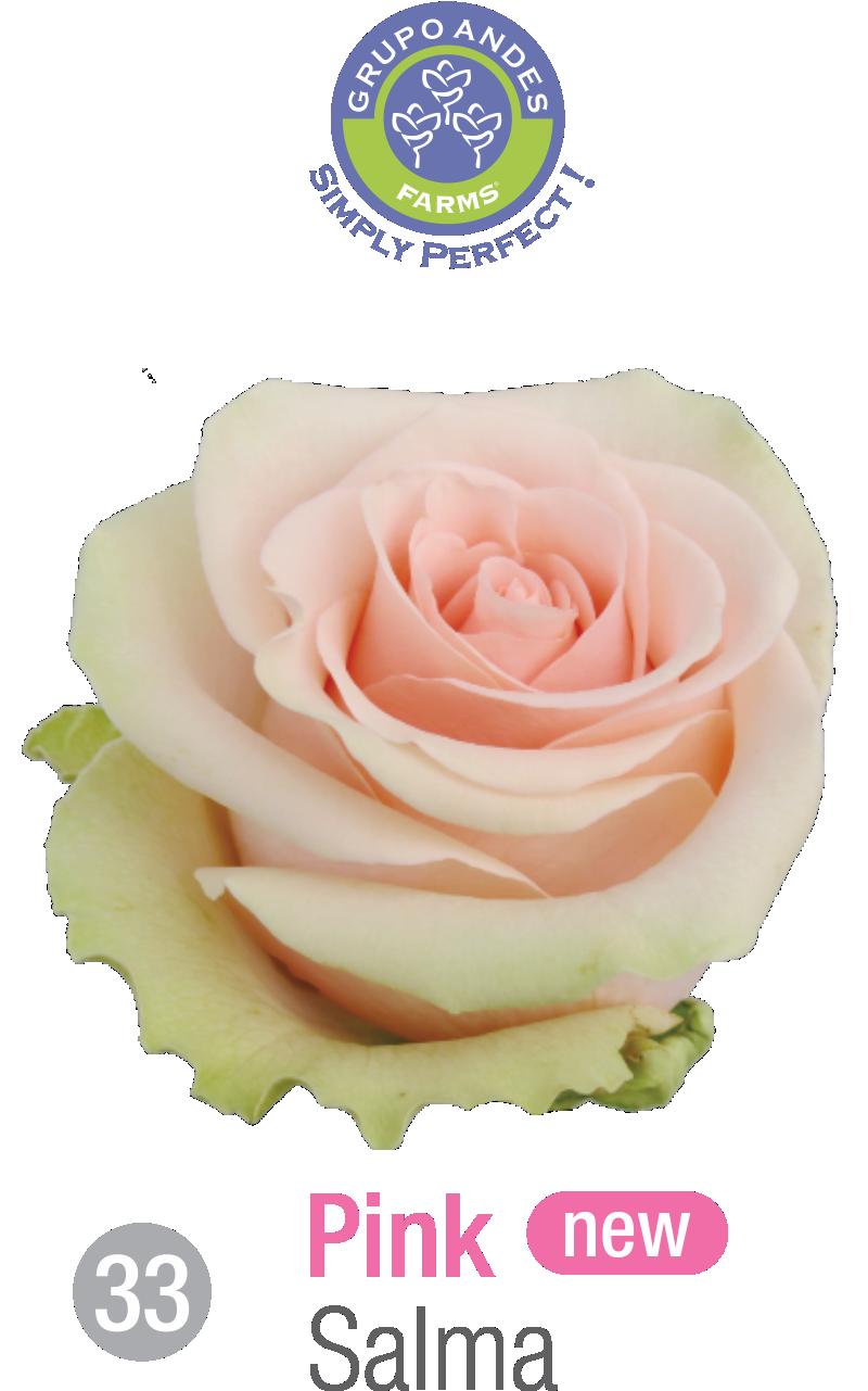 33 - Rosa Variedad Salma.png