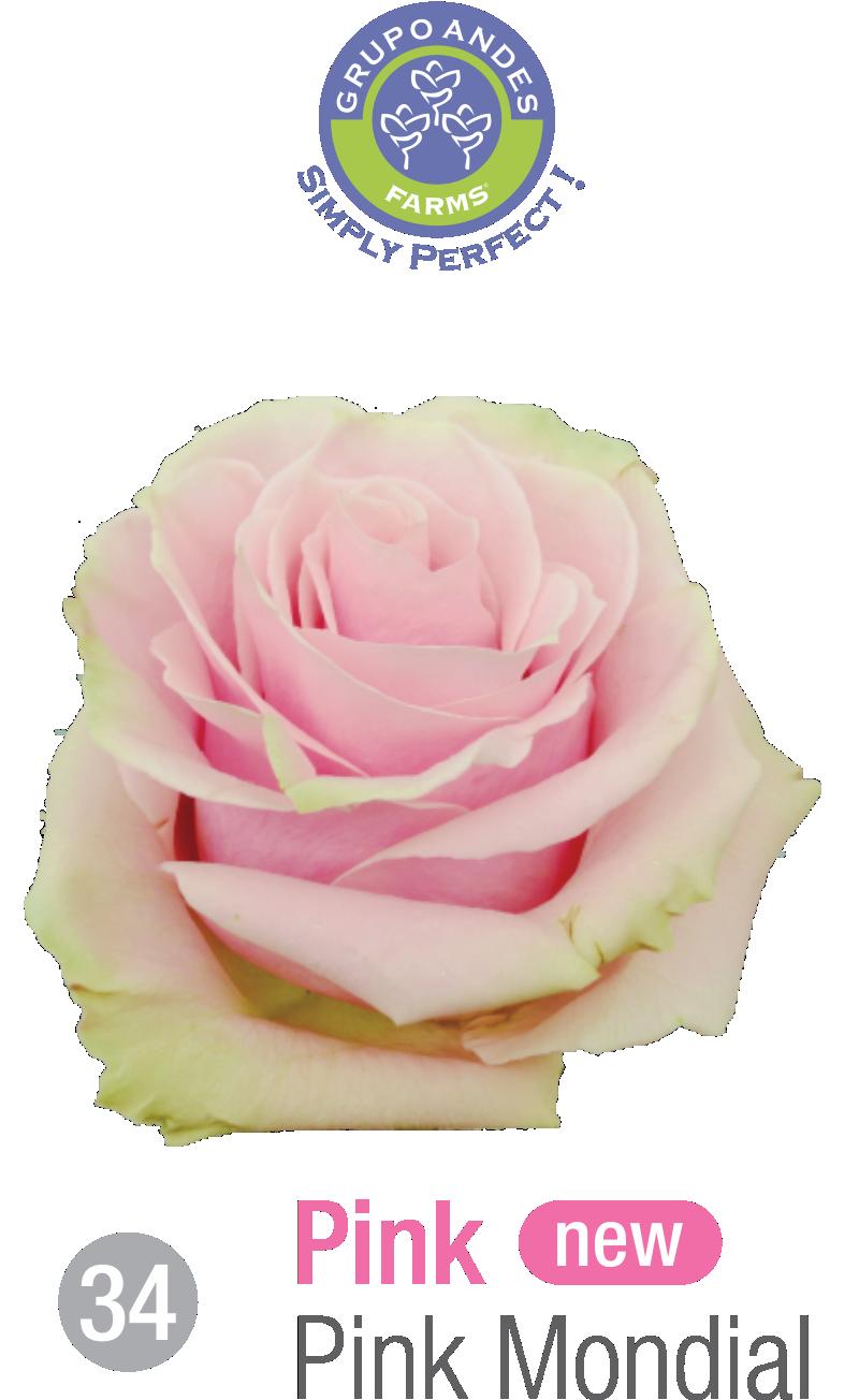34 - Rosa Variedad Pink Mondial.png