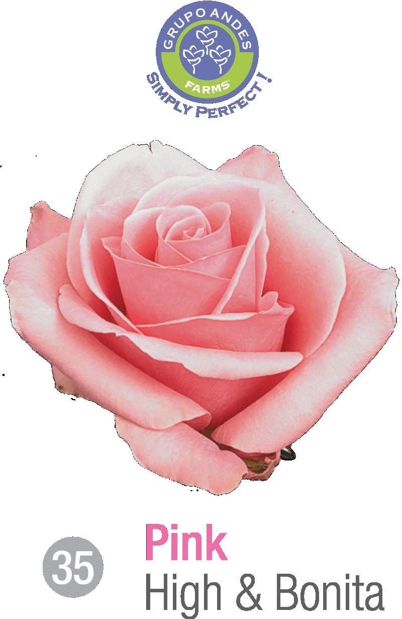 35 - Rosa Variedad High & Bonita.png