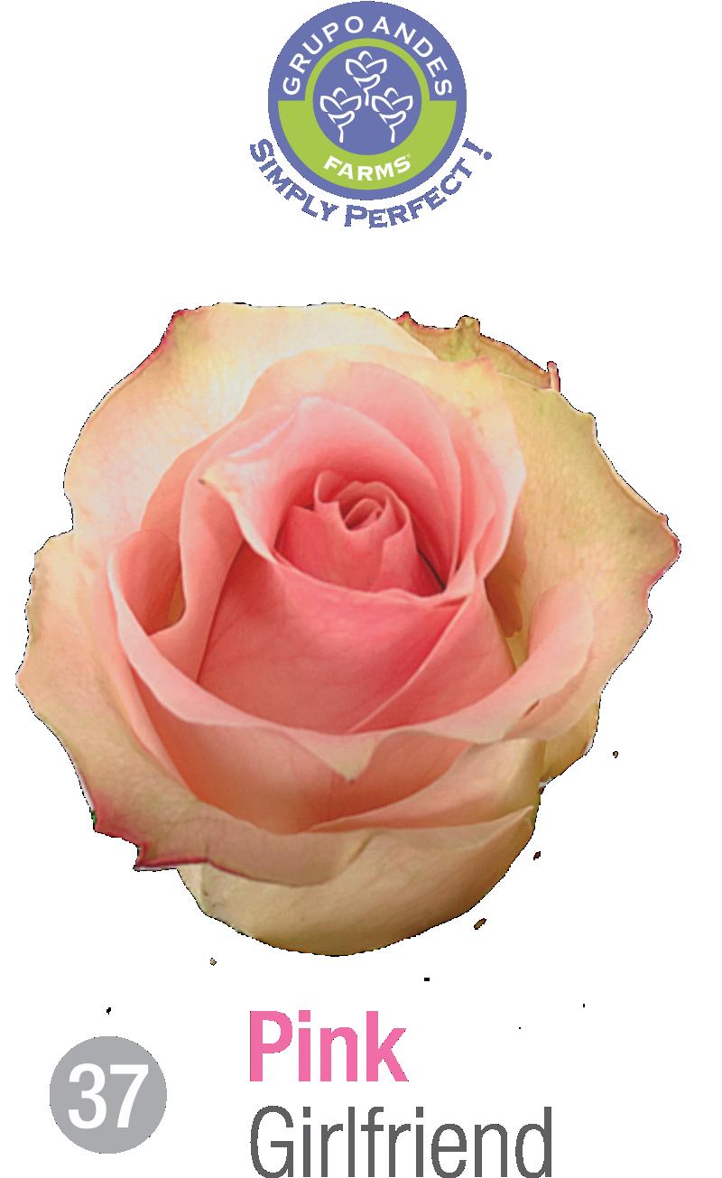 37 - Rosa Variedad Girlfriend.png