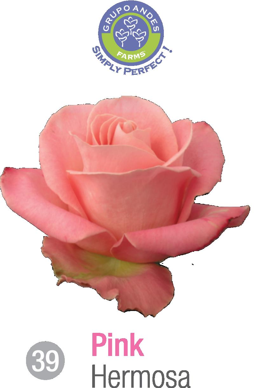 39 - Rosa Variedad Hermosa.png