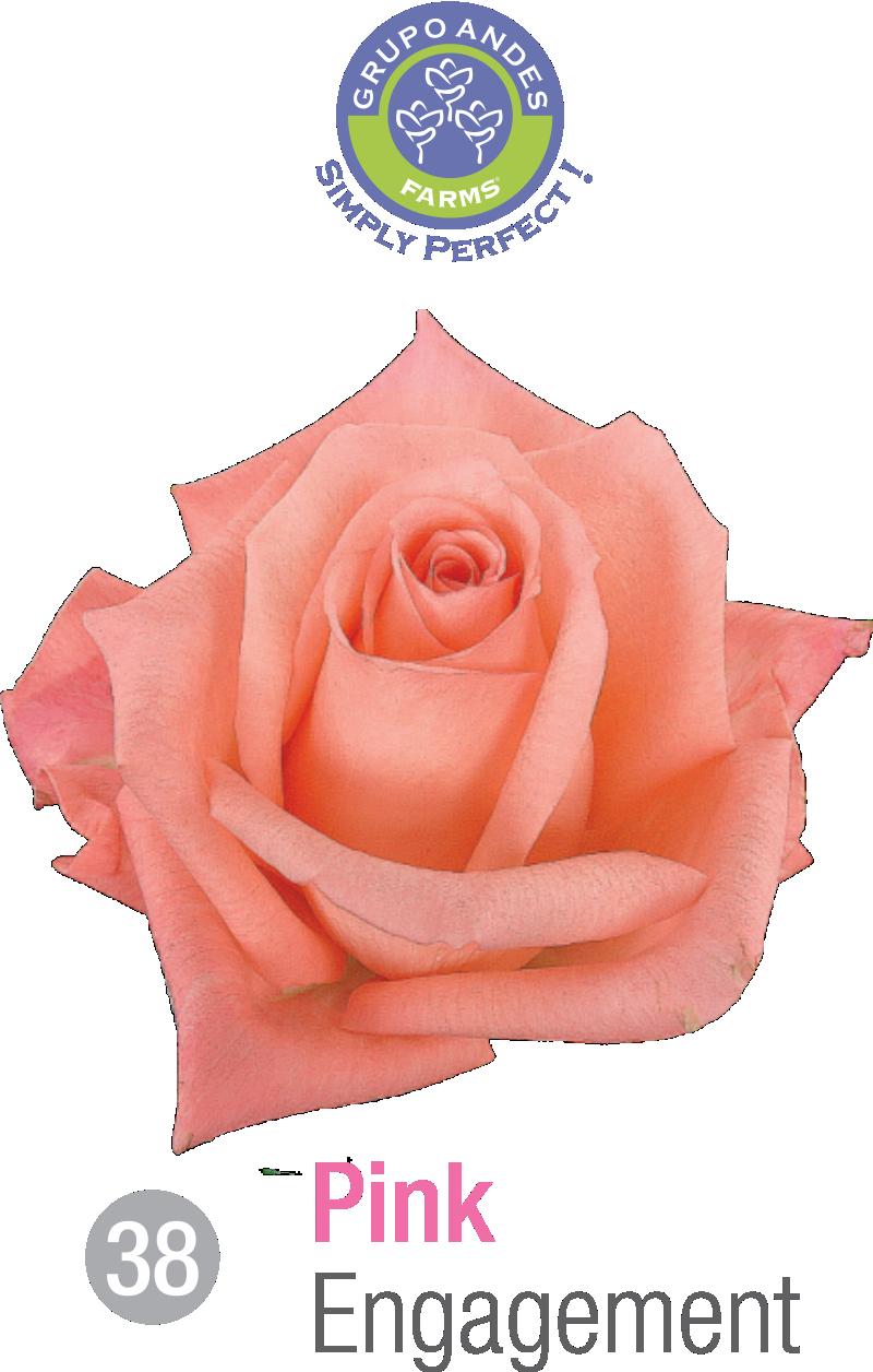 38 - Rosa Variedad Engagement.png