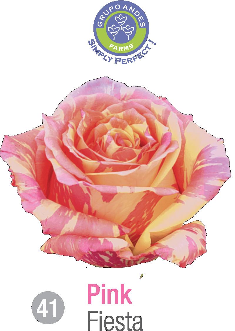 41 - Rosa Variedad Fiesta.png