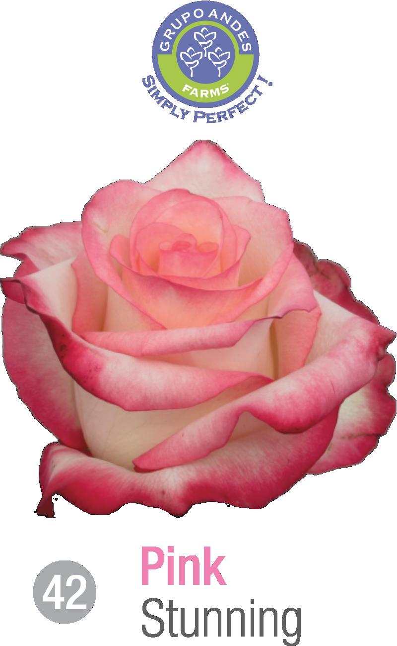 42 - Rosa Variedad Stunning.png