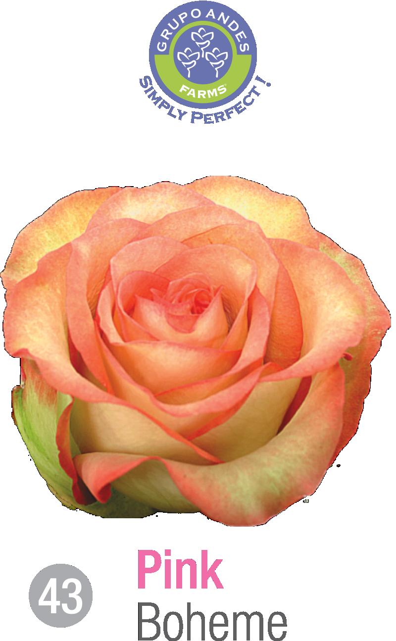 43 - Rosa Variedad Boheme.png