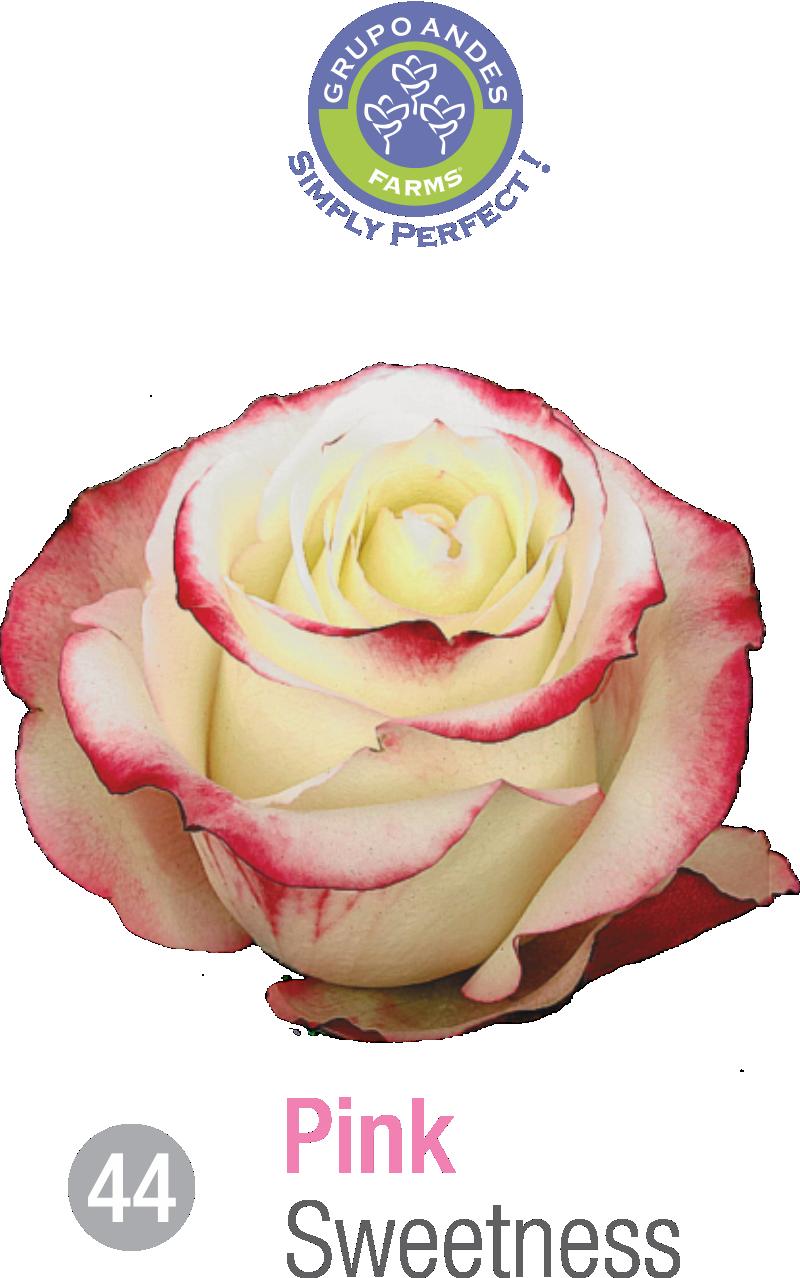 44 - Rosa Variedad Sweetness.png