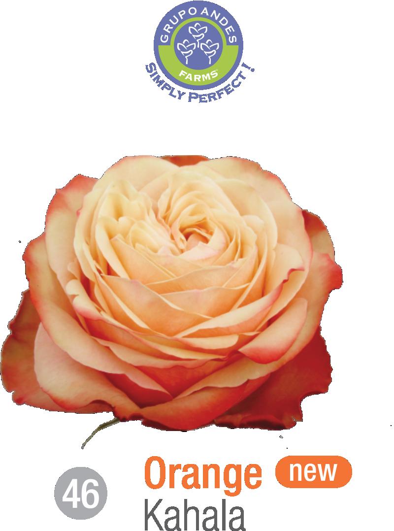 46 - Rosa Variedad Kahala.png