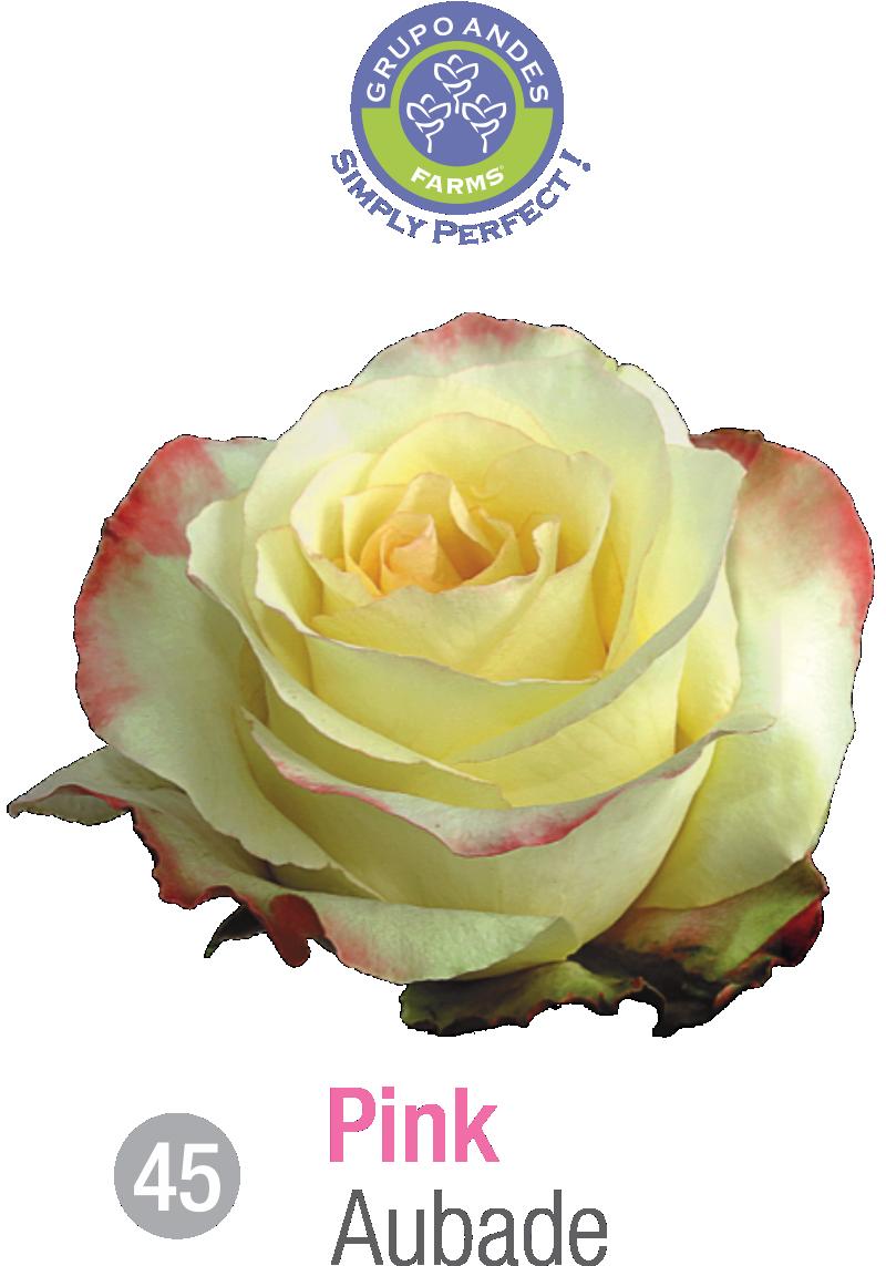 45 - Rosa Variedad Aubade.png