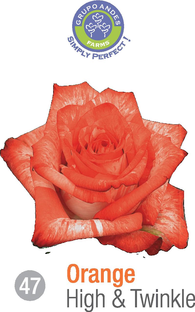 47 - Rosa Variedad High & Twinkle.png