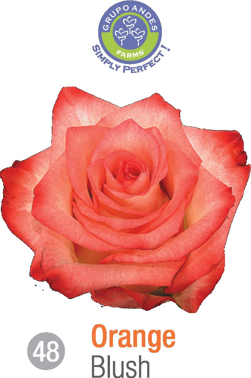 48 - Rosa Variedad Blush.png