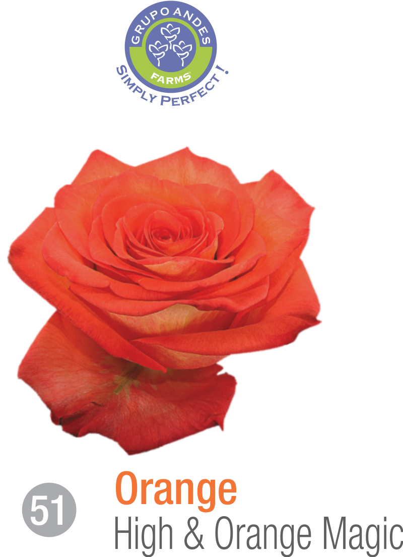51 - Rosa Variedad High & Orange Magic.png