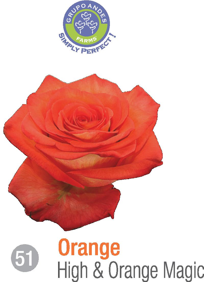 51 - Rosa Variedad High & Orange Magic.png