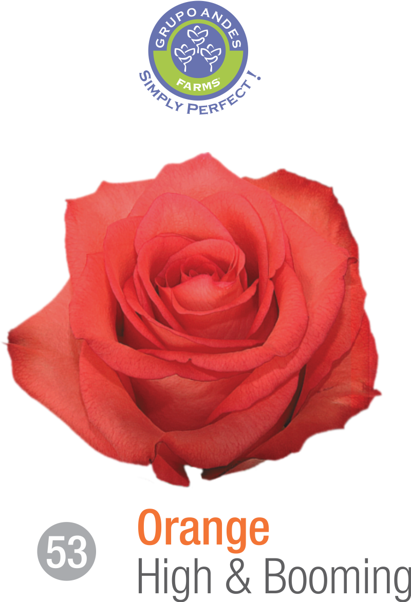 53 - Rosa Variedad High & Booming.png