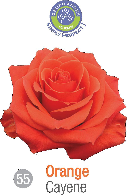 55 - Rosa Variedad Cayene.png