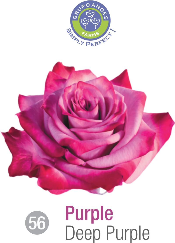 56 - Rosa Variedad Deep Purple.png