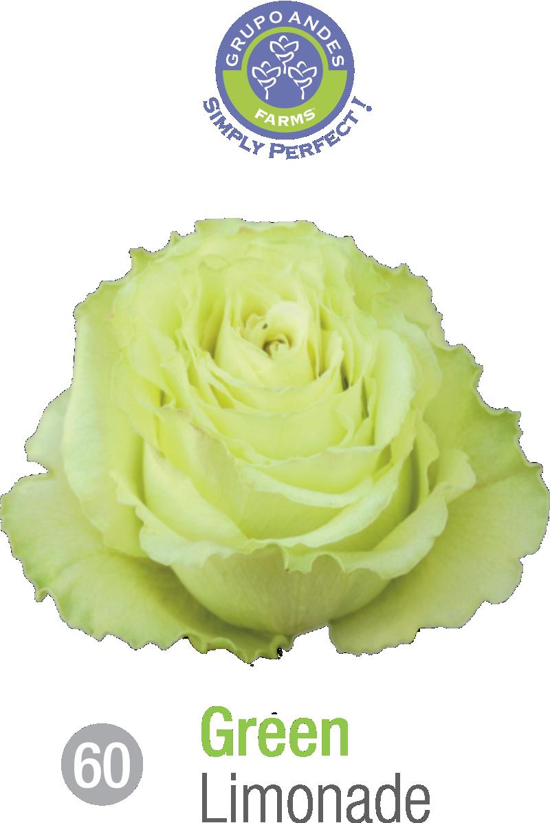 60 - Rosa Variedad Limonade.png