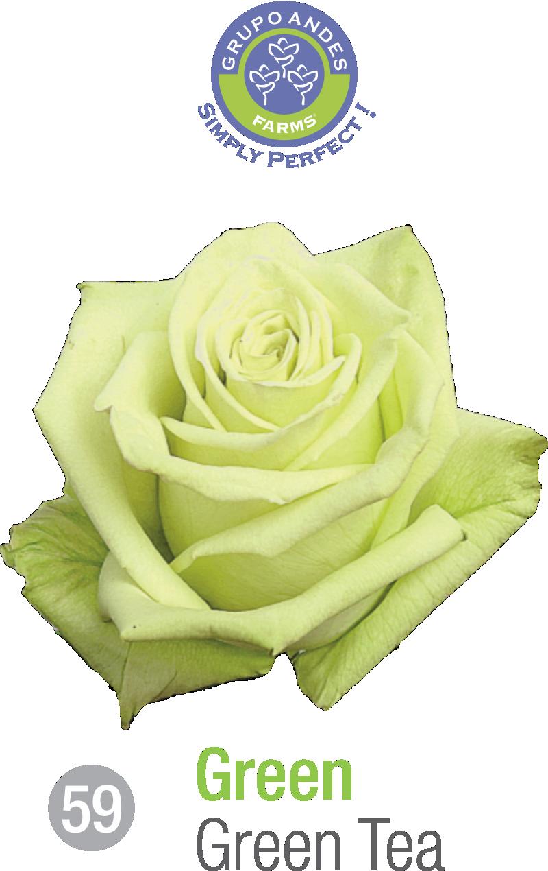 59 - Rosa Variedad Green Tea.png
