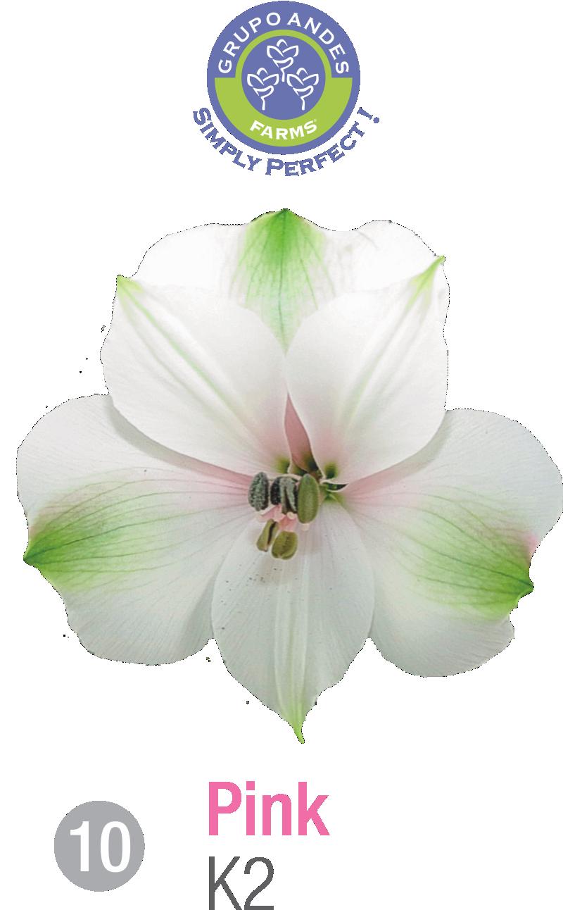 10 - Alstroemeria Variedad K2.png