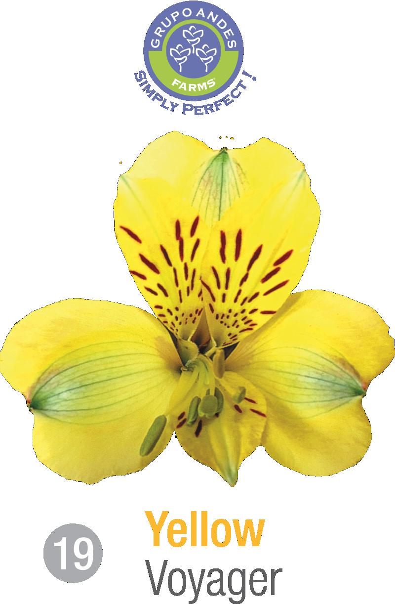 19 - Alstroemeria Variedad Voyager.png