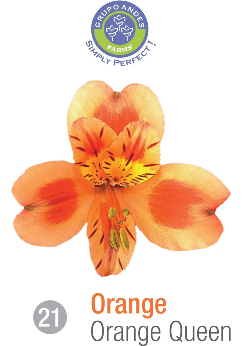 21 - Alstroemeria Variedad Orange Queen.png