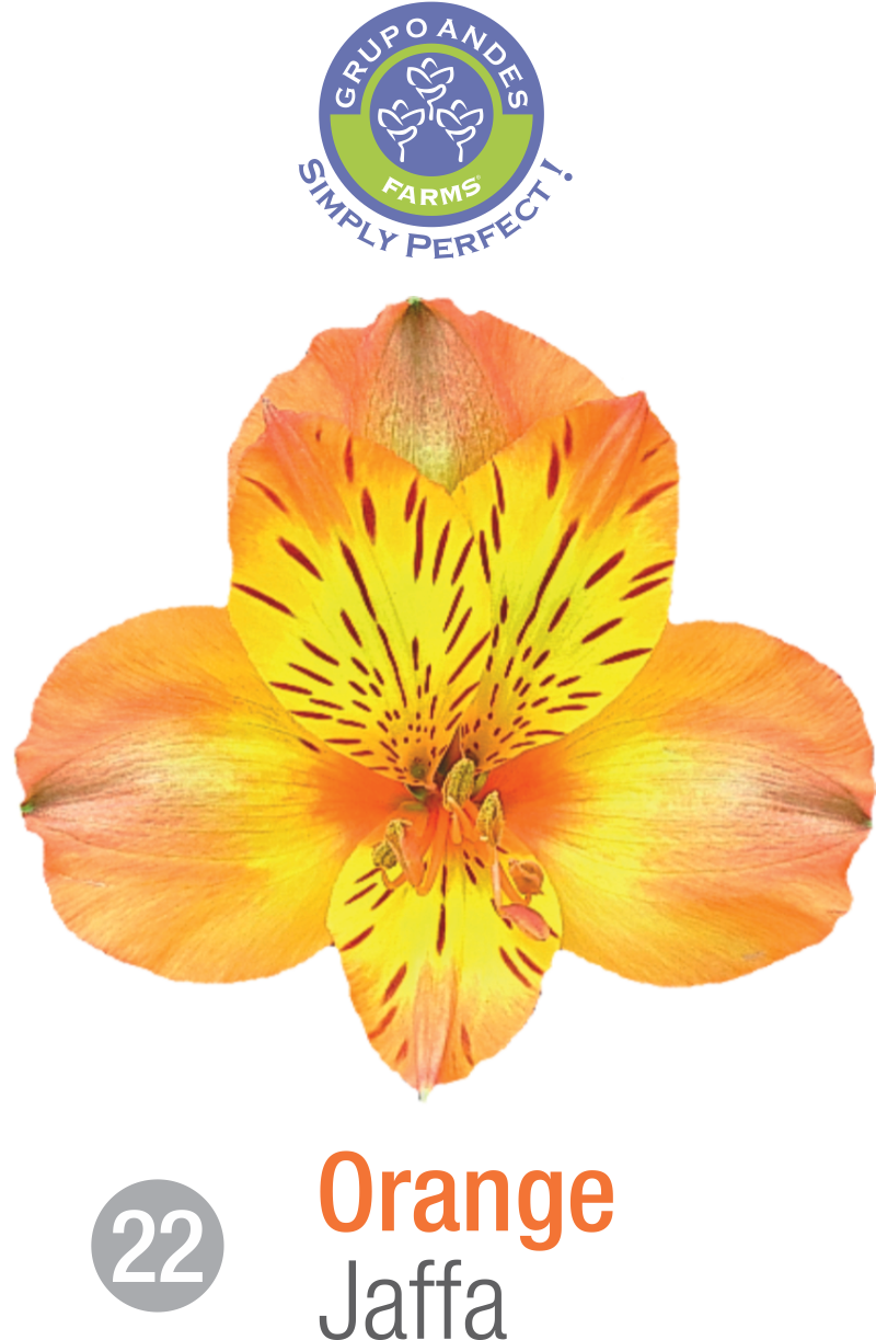 22 - Alstroemeria Variedad Jaffa.png
