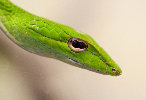 Asian-vine-snake-eyes