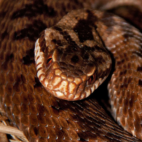 Brown Adder Snake Eyes