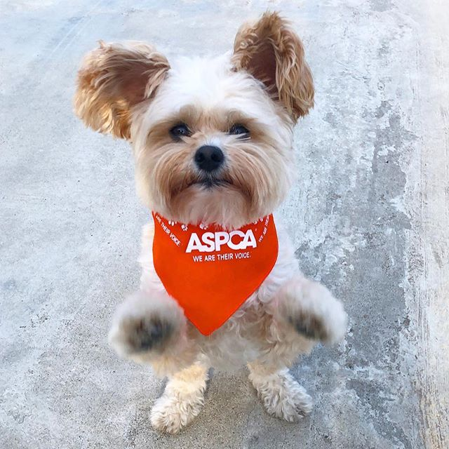 Popeye is 100% a cuddler not a fighter. Although he can bark your ear off, he would not know what to do in a fight. It's just not in his nature. For some dogs, they don't have a choice and cruel humans put them to fight. . . Today, Popeye is standing with the @ASPCA to fight for victims of dogfighting and put an end to this barbaric practice. . . Visit ASPCA.org/AFightingChance to give dogfighting rescues a #FightingChance. 🧡 Link also on our profile.