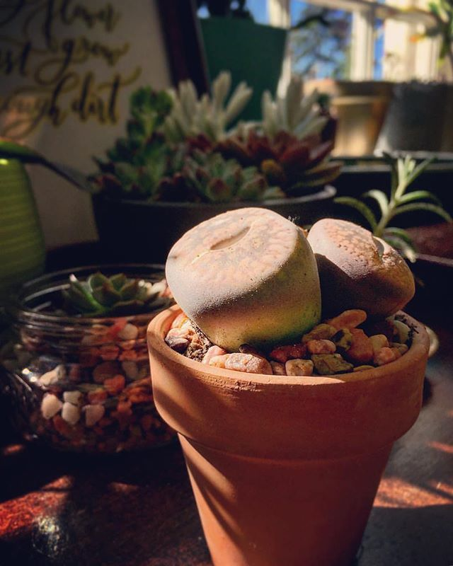 Lithops are plant butts. Change my mind.