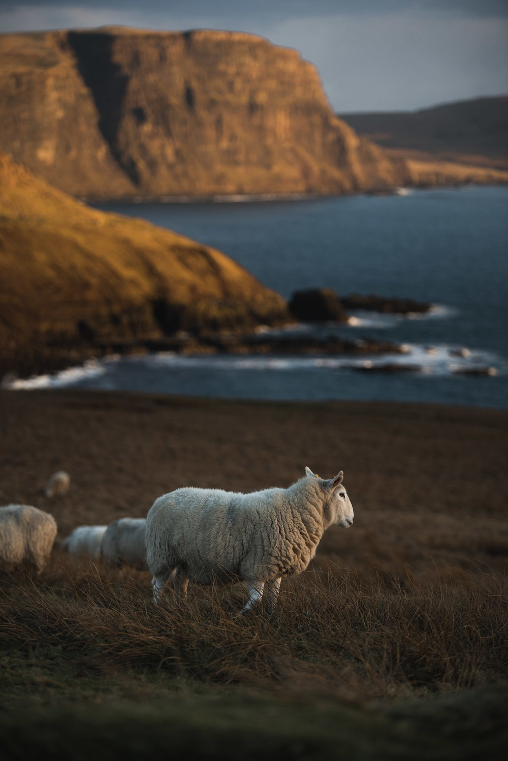 sheep next to neist point
