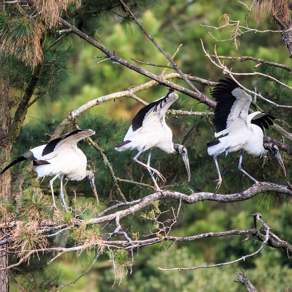 A mustering of Wood Storks
