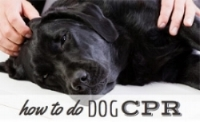 how-to-do-cpr-on-a-dog.jpg