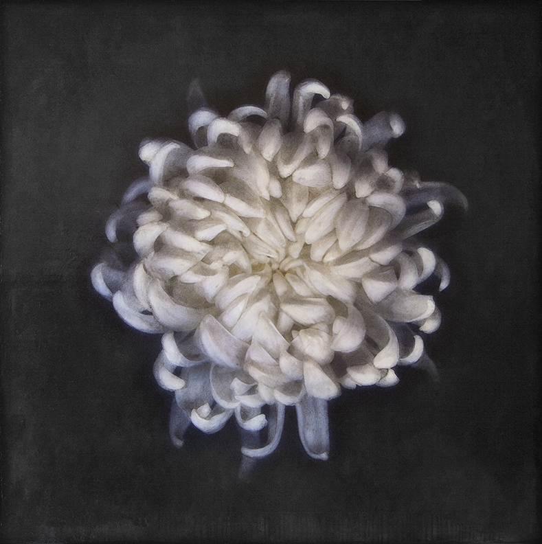 Hasbrouck_WhiteChrysanthemum_36x36_Photoencaustic_2017.jpg