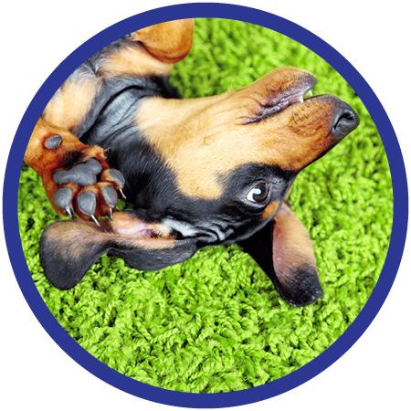 Dog on Green Carpet.jpg