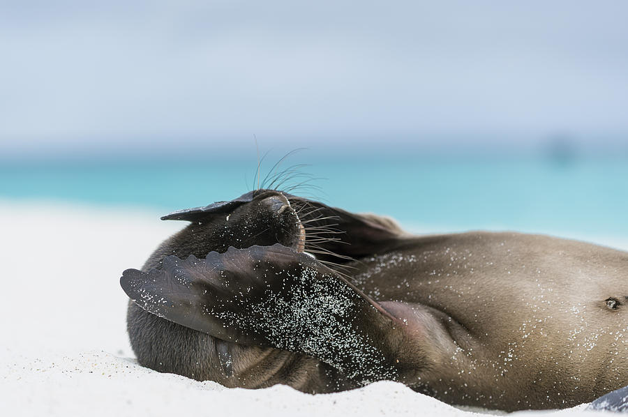 Galapagos sea lion pup, by Tui De Roy