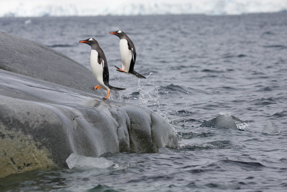 Gentoo penguins, Antarctic Peninsula