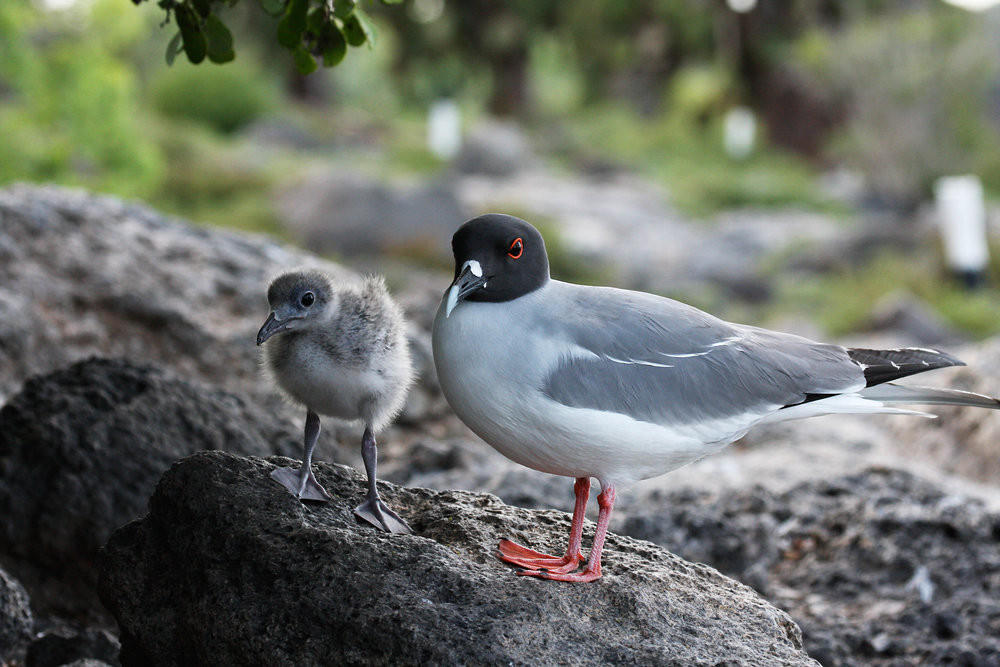 Swallow-tail gull and chick (endemic)