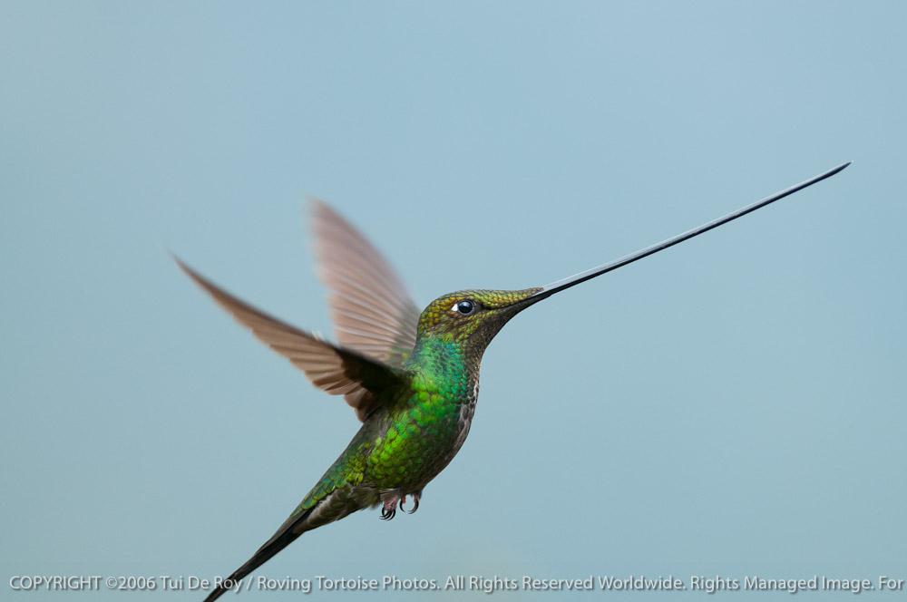 Sword-billed Hummingbird by Tui De Roy