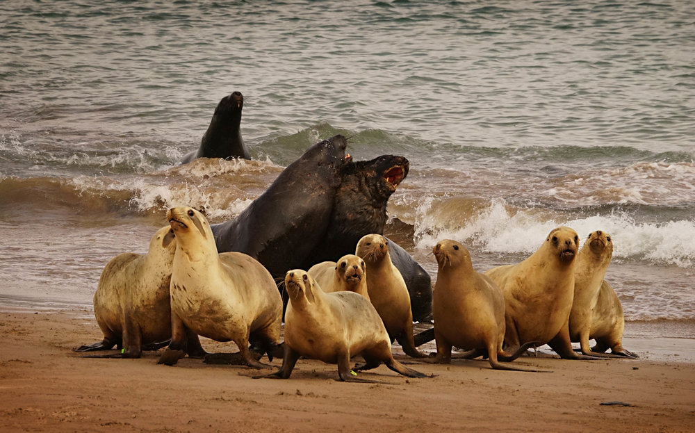 Hooker's Sea Lions, with bulls competing for a haram