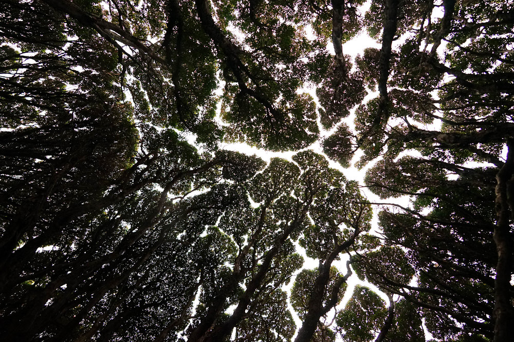 looking up at the Rata forest canopy, where the windswept trees appear to never touch...