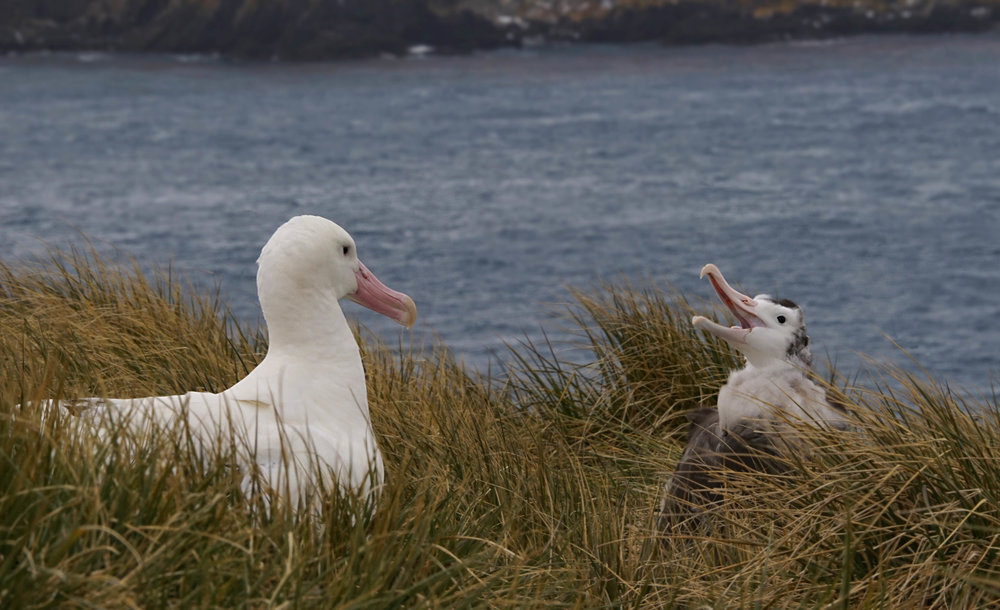 Wandering Albatross (with a 13' wingspan) adult and chick; Prion Island
