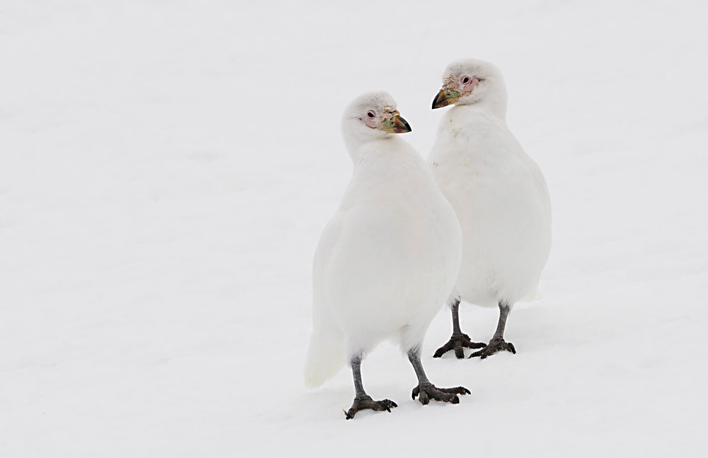 Snowy Sheathbill (the only land bird native to Antarctica)
