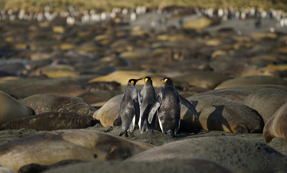 King Penguins searching for a way through the sea of sleeping Elephant Seals