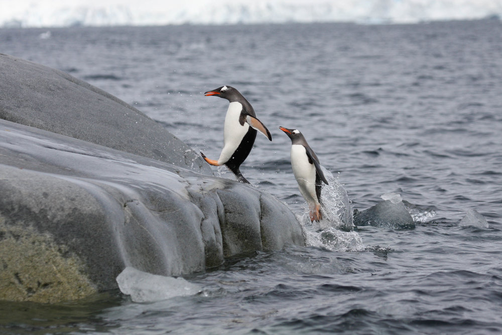 Gentoo penguins return from feeding - South Shetland Islands
