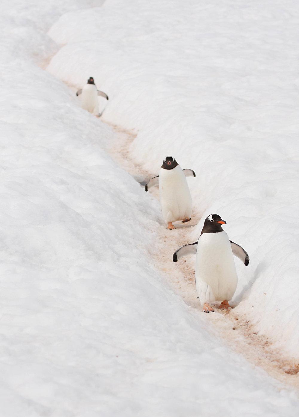 Gentoo Penguins heading to the water
