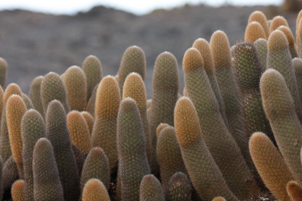 lava cactus (endemic), Fernandina Island